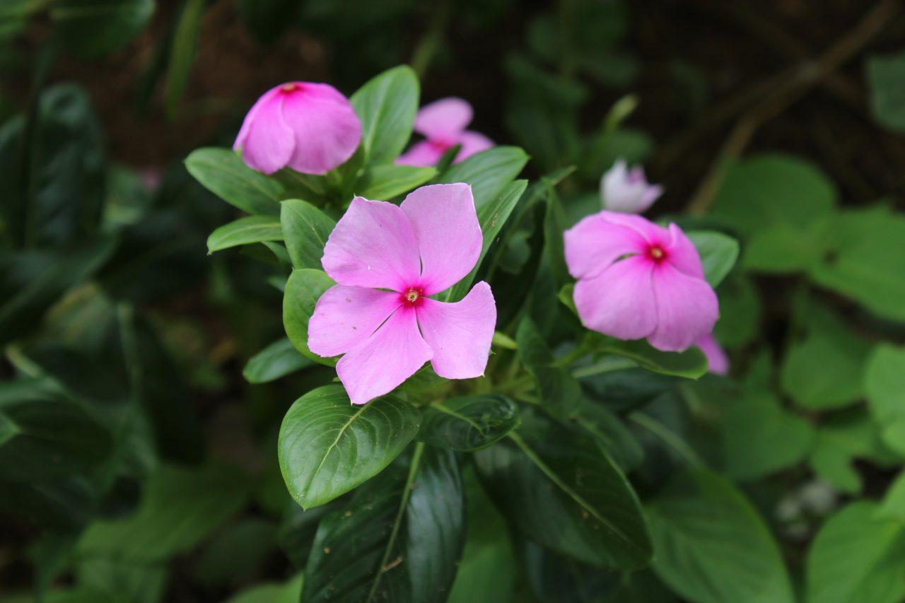Vinca Rosea pink