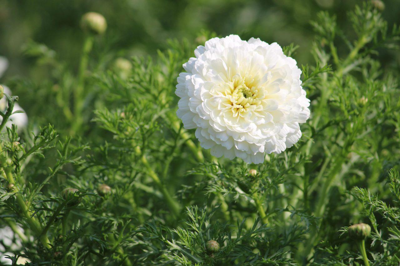 White Chrysanths flower