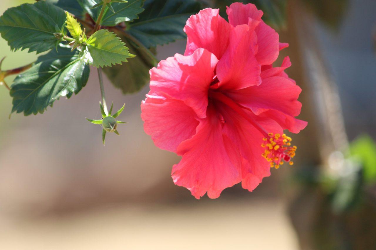 Gumamela flower