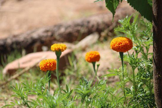 Marigold-yellow
